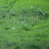 10-duckweed-in-canal