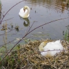 32-mute-swan-on-nest-in-lake-logan