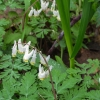 06-dutchmans-breeches