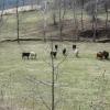 16-more-cows
