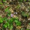 24-wild-geranium