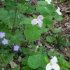 27-geranium-trillium