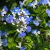29-close-up-of-blue-eyed-marys