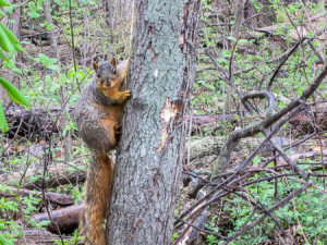 A fox squirrel took great interest in us
