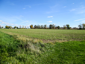 Winter wheat planted among corn stalk stubble