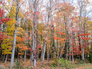 Woods along Lester Road