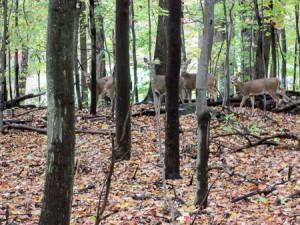 Curious deer in Brecksville Reservation