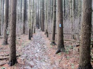 Trail through the white pines