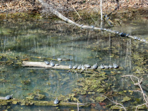 Turtles soaking up the sun in the canal