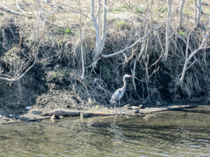 Blue heron pretending to be a tree on the canal bank