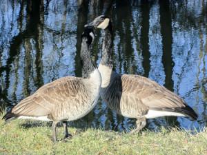 Pair of geese enjoying breakfast together