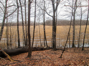 Mentor Marsh covered with chopped-down Phragmites